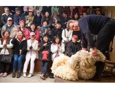 Sheering Sheep at Living Springs